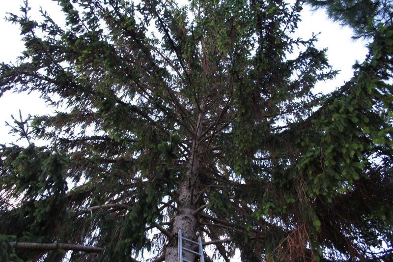 Elagage Epicea: arbre avant l`élagage
