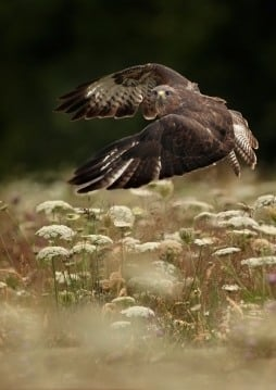 Buzzard Taking Off (Andy Snape)