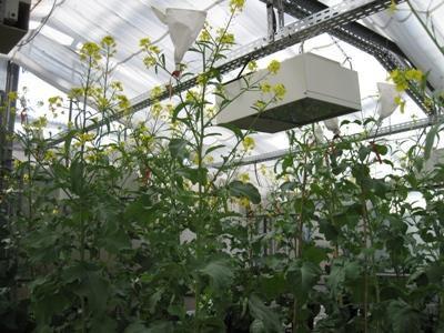 Essai en serres pour le croisement de plants de moutarde lors du programme de sélection