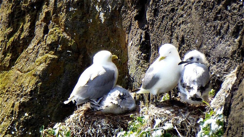 Möwenfamilie am Vogelfelsen