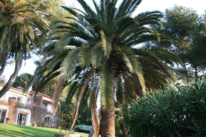 Palmier avant la taille en marguerite