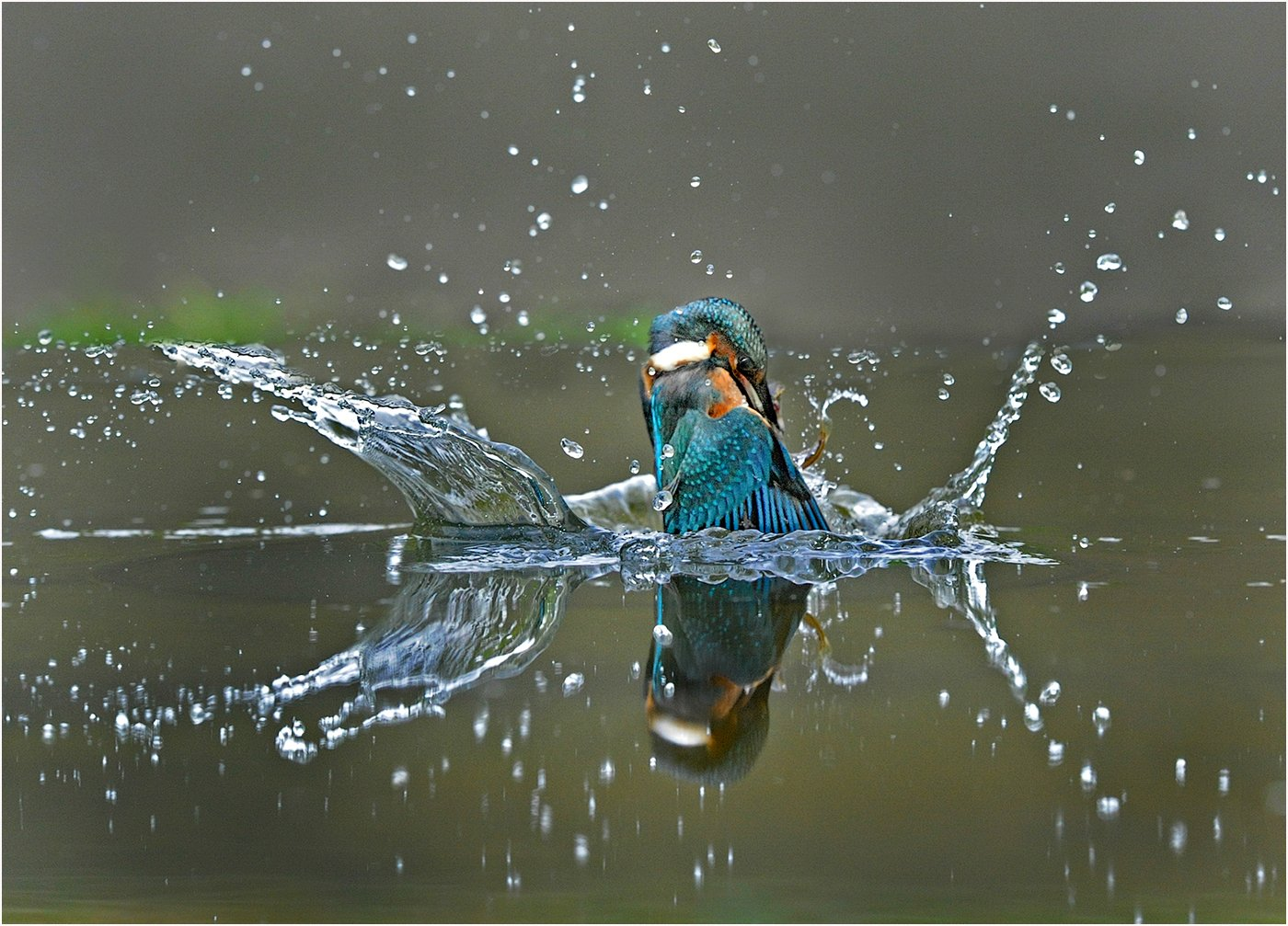 1st Place: Kingfisher Exiting the Water (Margaret Tabner)