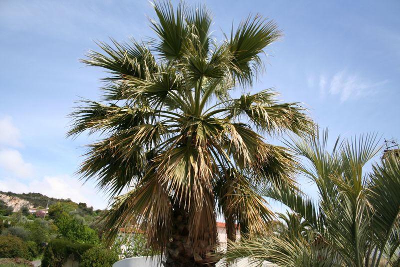 Autre vue du palmier avant la taille/ élagage