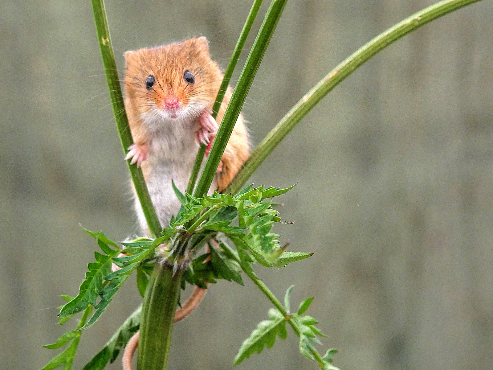 Harvest Mouse (Micromys minitus)