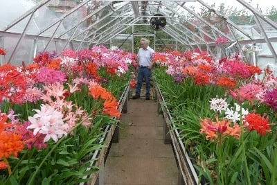 A view of some of the magnificent Nerine Sarniensis blooms in Steve's collection.