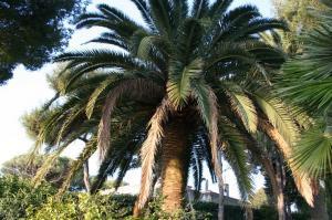 Palmier avant la taille