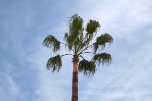Taille d\'un palmier Washingtonia