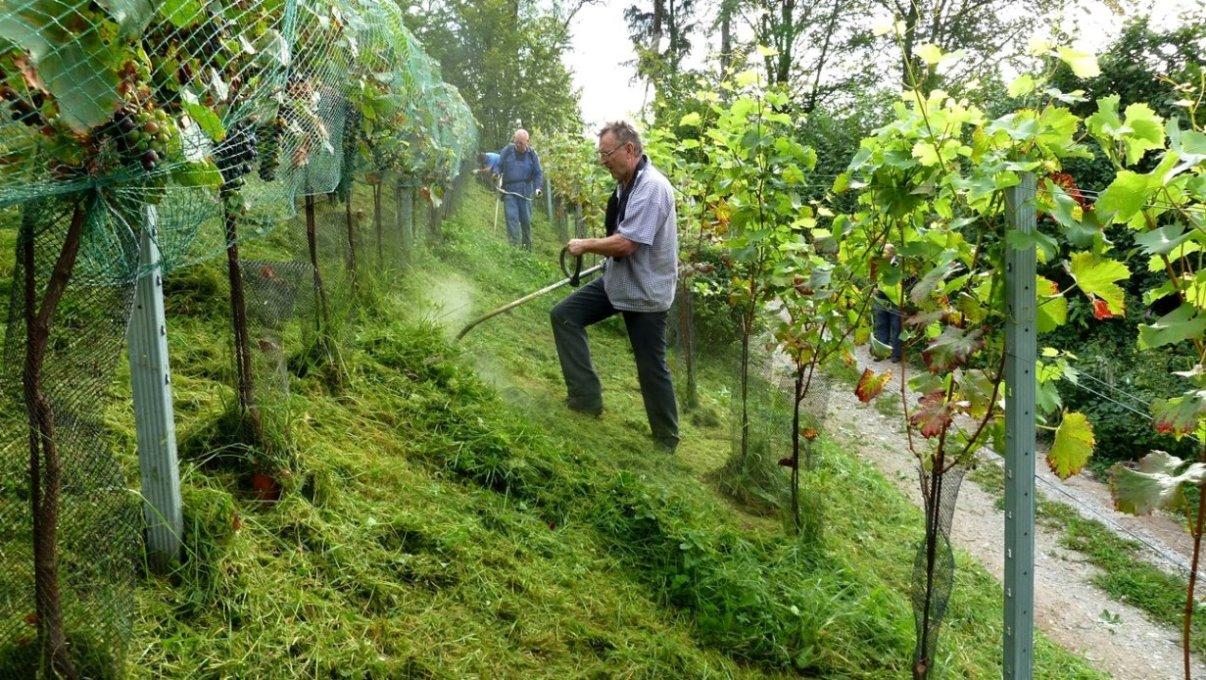Vorbereitung zur Weinernte - 7. September 2011