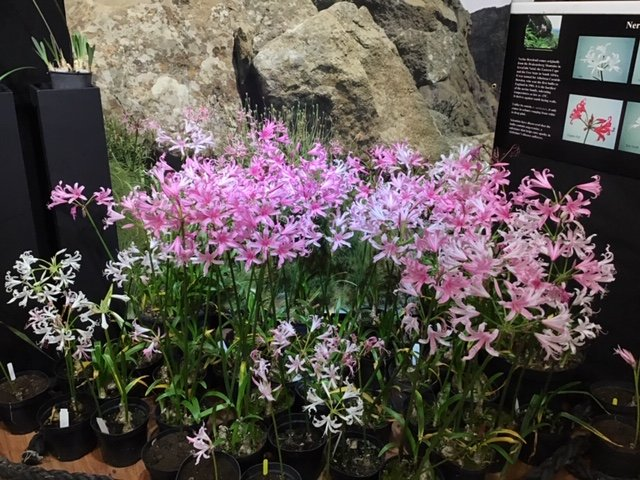 ...... and Hardy Nerines forming part of the display inside the gallery.