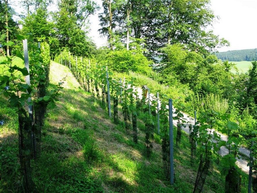 Die Weinstöcke entwickeln sich prächtig