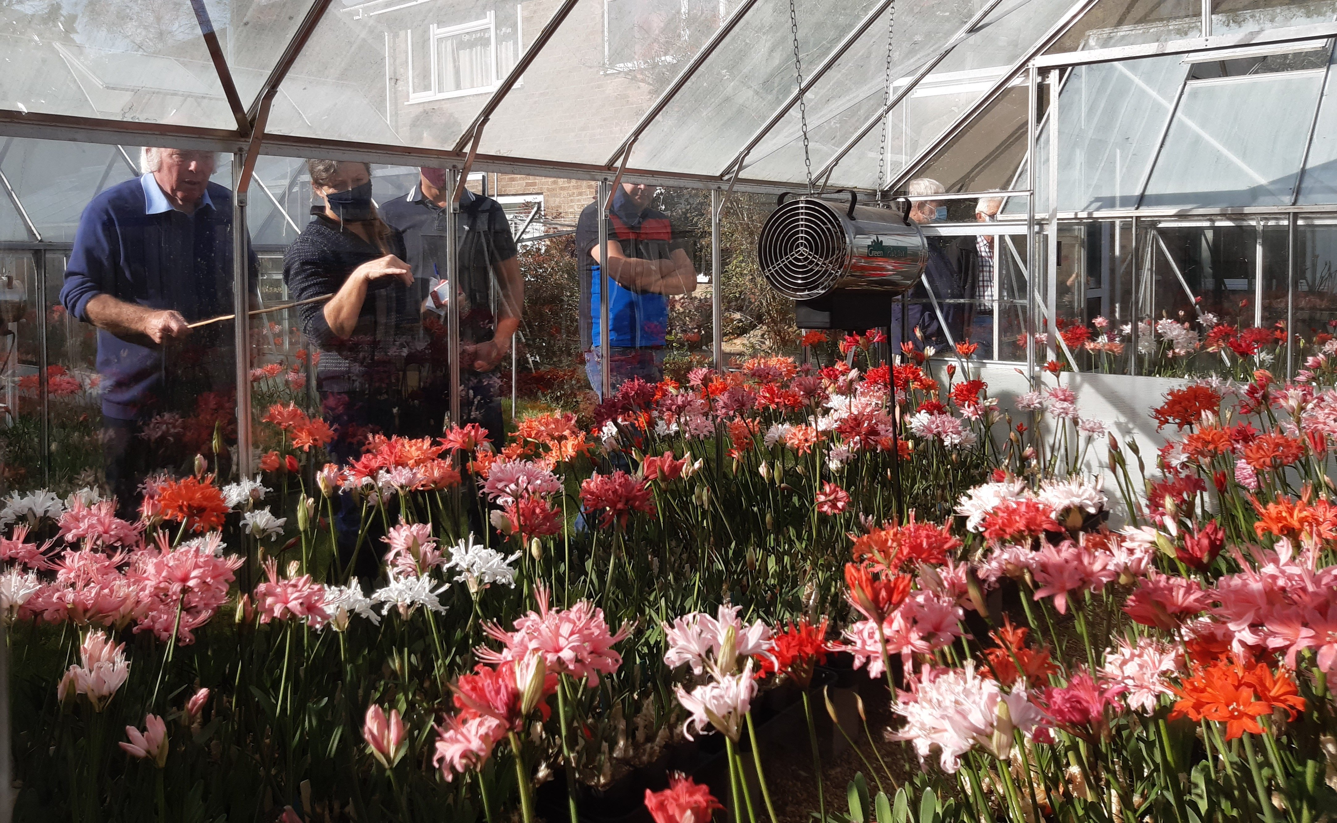 The beautiful display of Nerine Sarniensis in Chris' glasshouse.