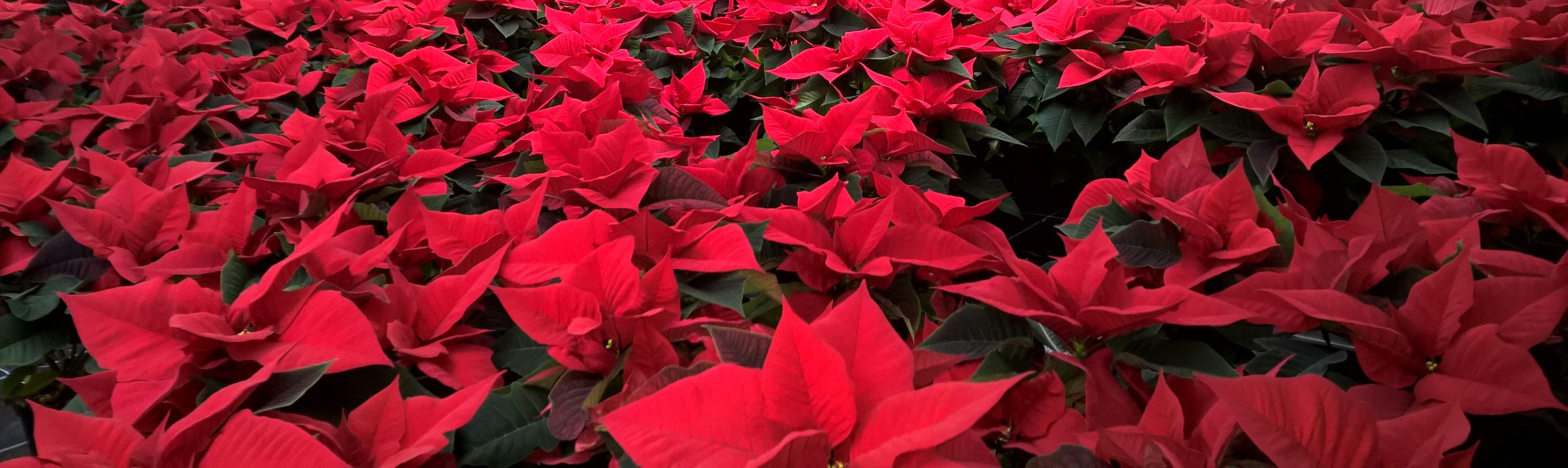 Die Sterne der Weihnacht