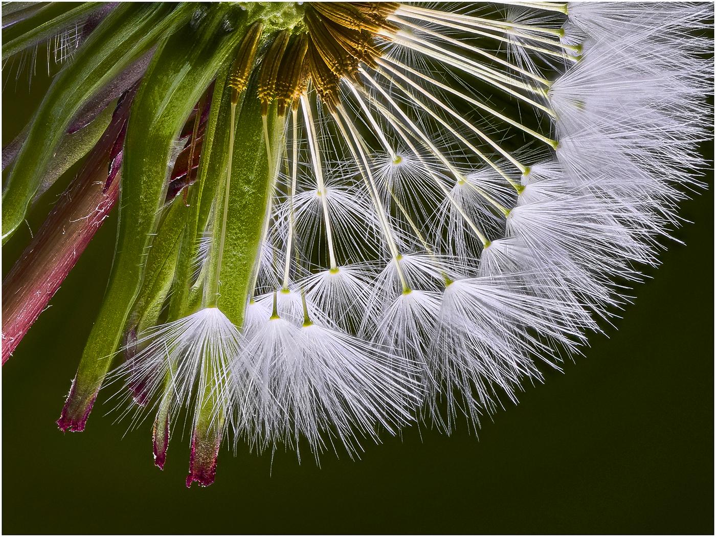 Commended: Dandelion Detail (Michael Bull)