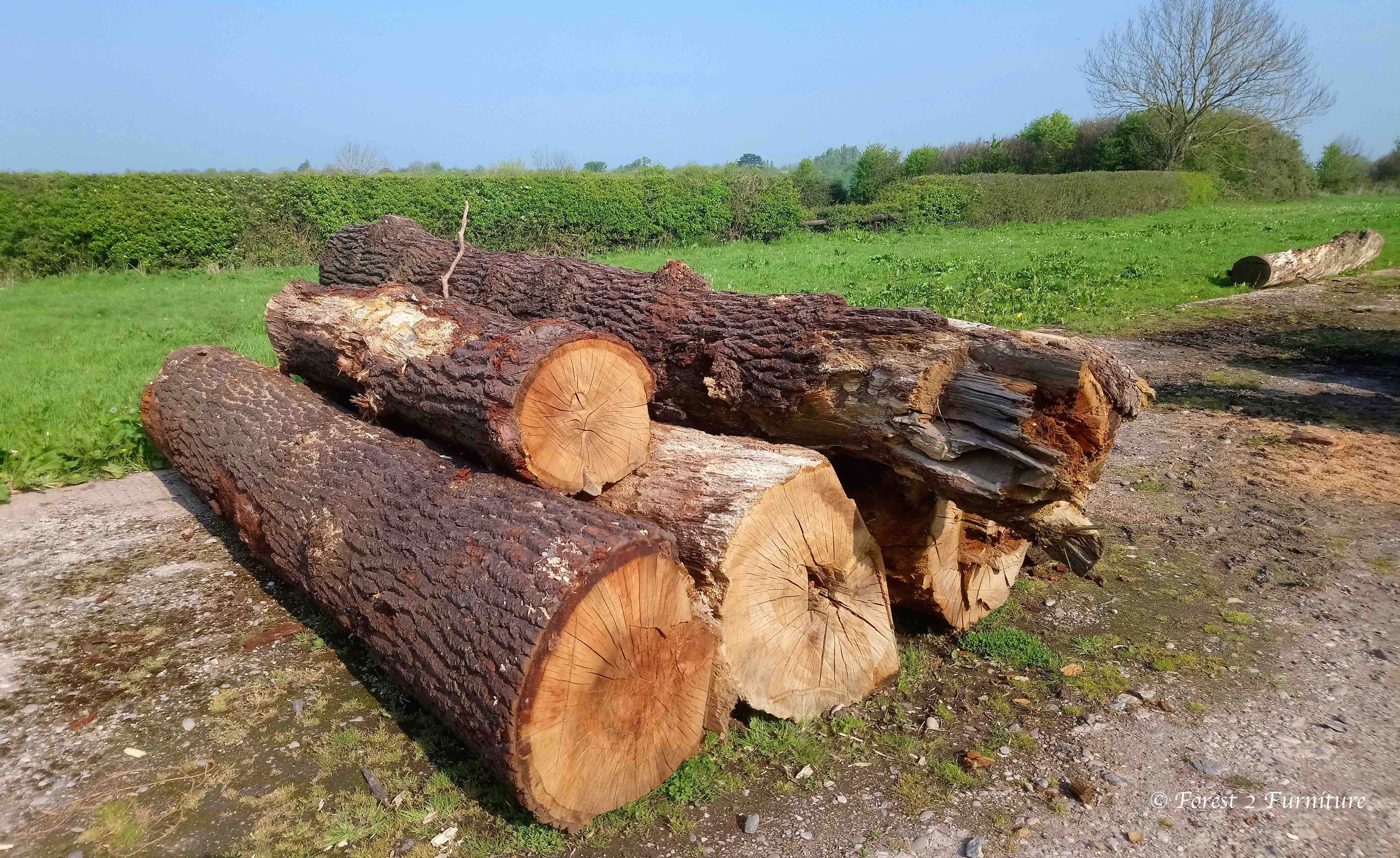Oak trunks felled 2yrs earlier waiting to be milled