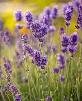 https://0501.nccdn.net/4_2/000/000/057/fca/lavender.jpg