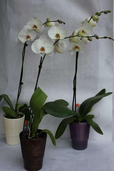 Orchidée 1 tige + cache pot - 30 €