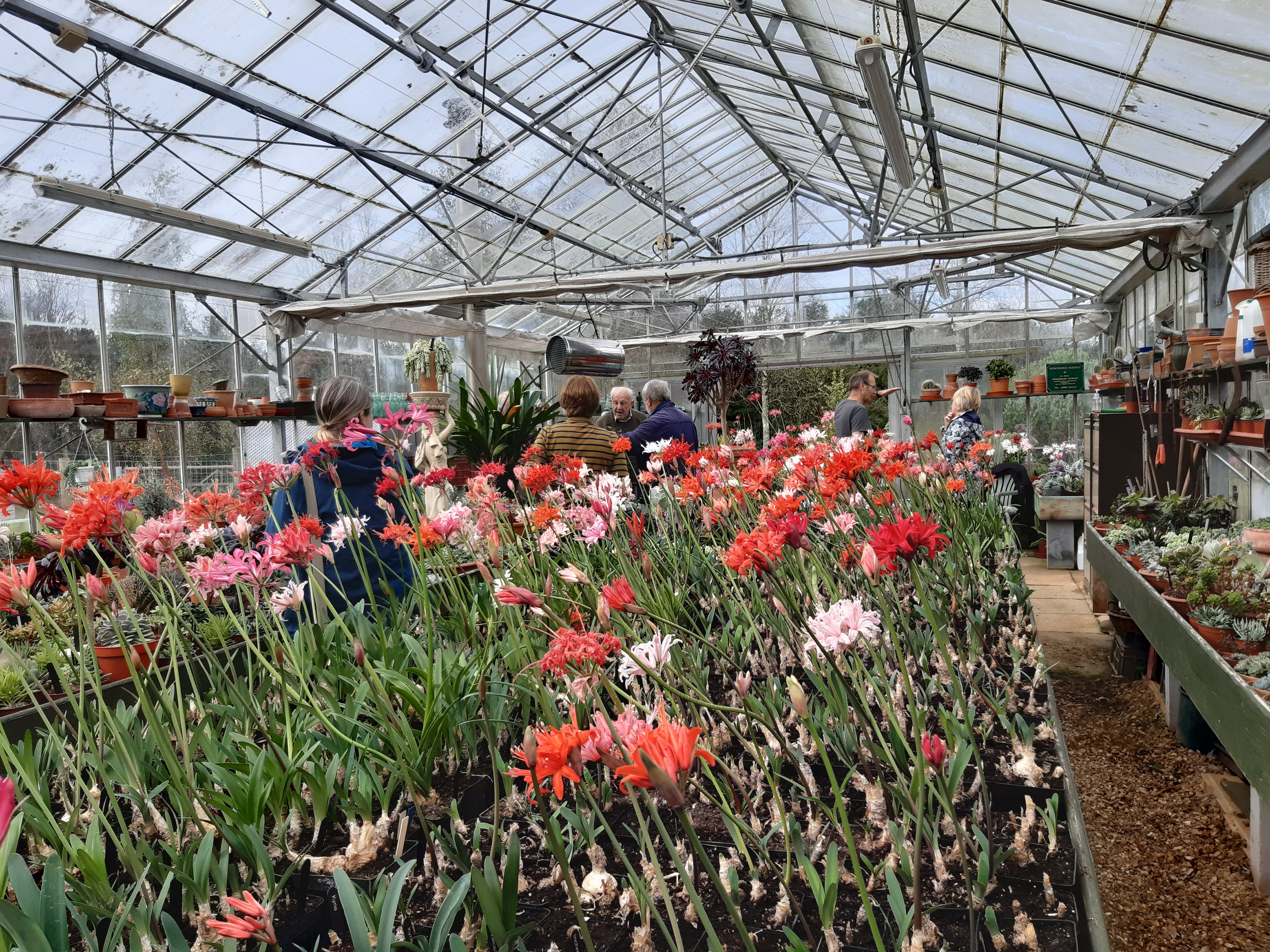 Then into Ken's glasshouse to view his display of Nerine Sarniensis.