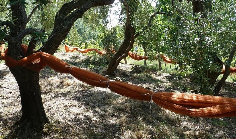 Bereit für die Olivenernte