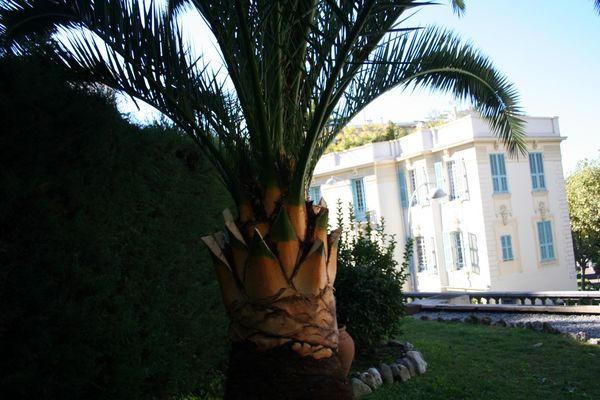 Palmier Phoenix aprés l`élagage