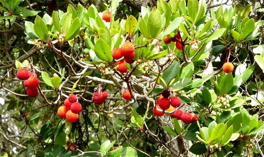 Reife, wohlschmeckende Früchte des Erdbeerbaumes