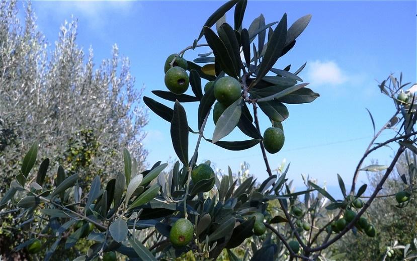 """Oliven für einen """"Martini Dry"""""""