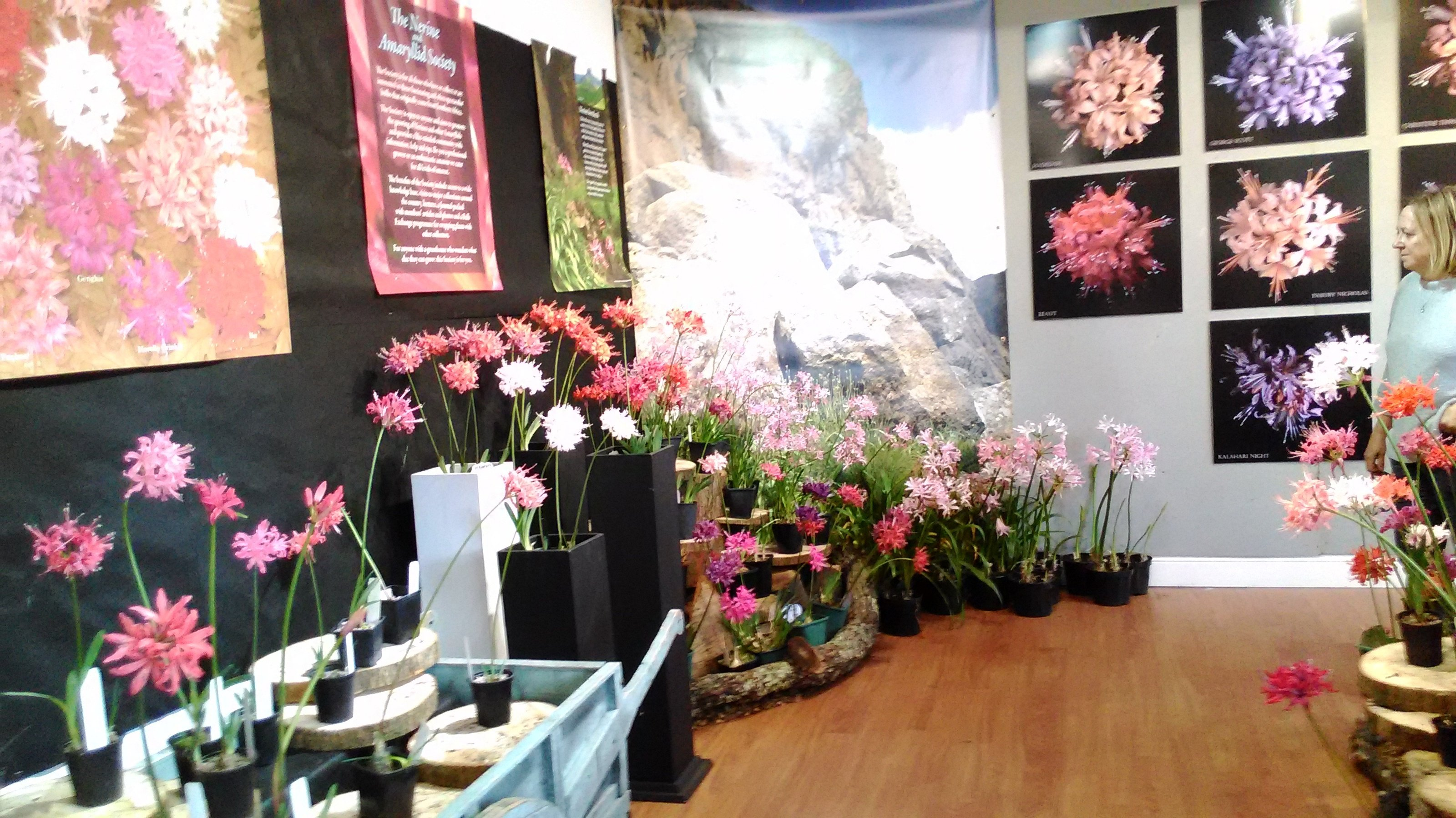 N. sarniensis and hardy nerines displayed in front of posters  and superb photos.