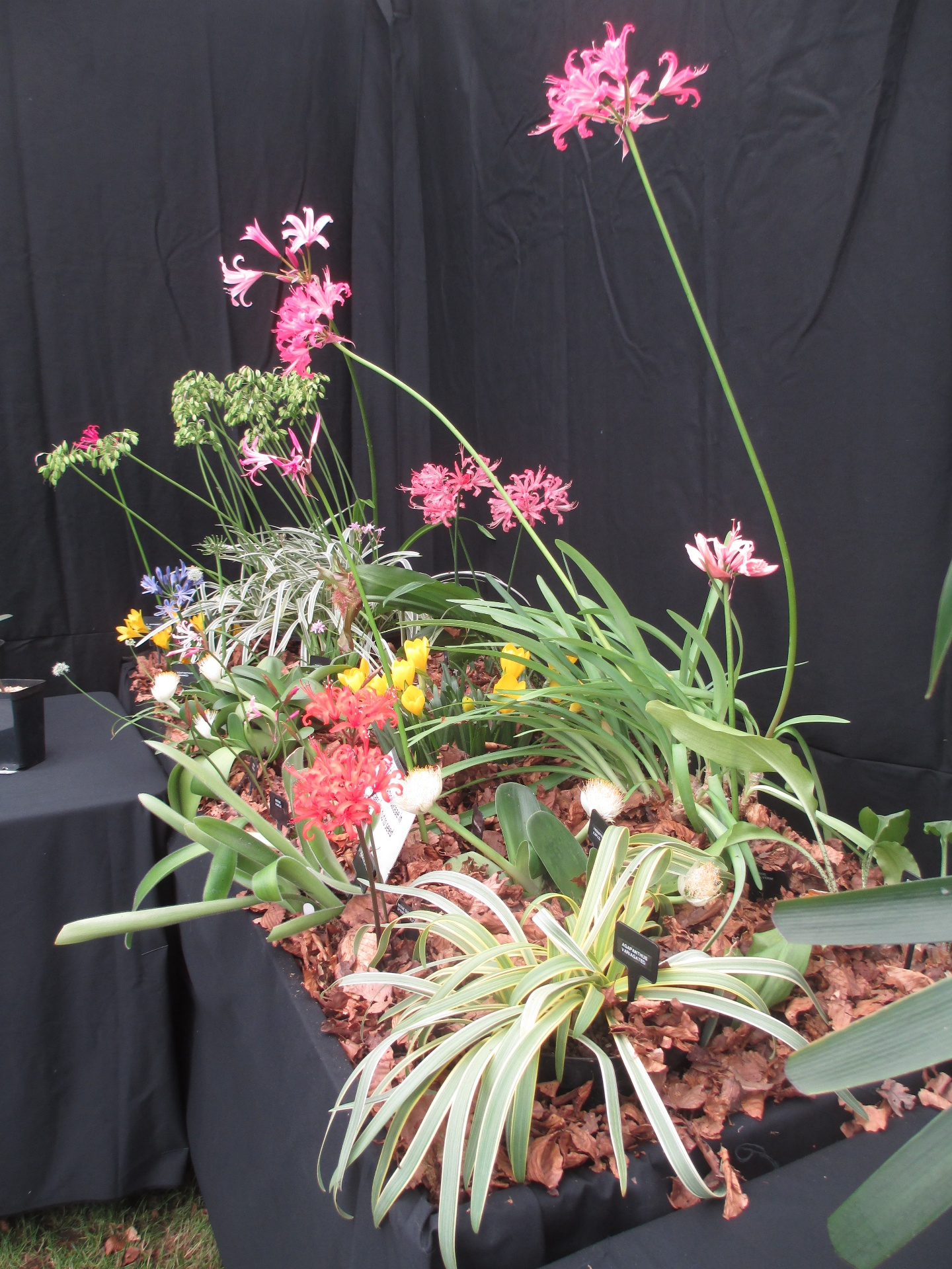 Display including other Amaryllids as well as Nerines.