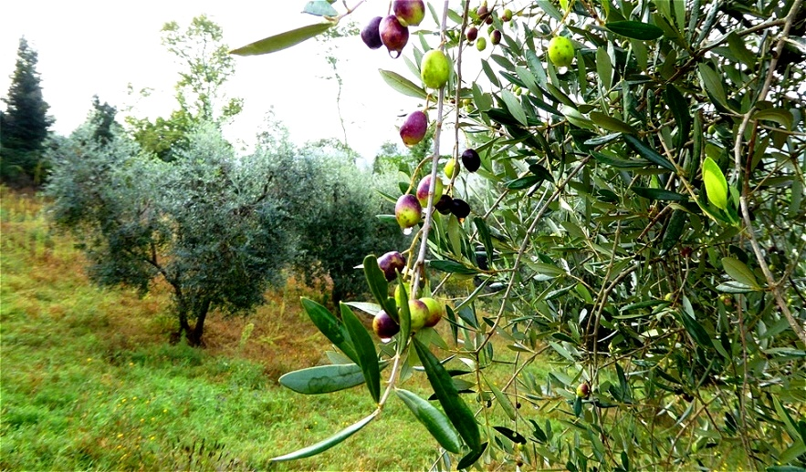 Die Olivenernte steht bevor