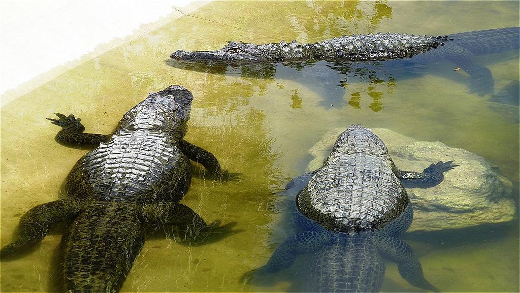 Ausgewachsene Alligatoren