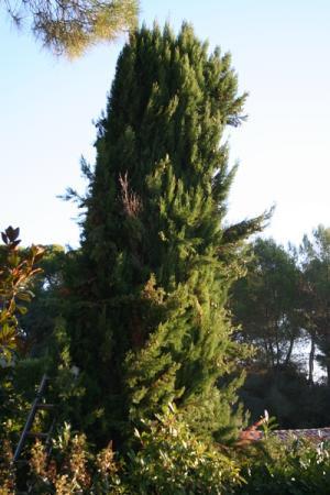 Cyprès avant la taille