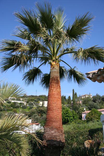 Vue globale du palmier nettoyé et taillé/élagué