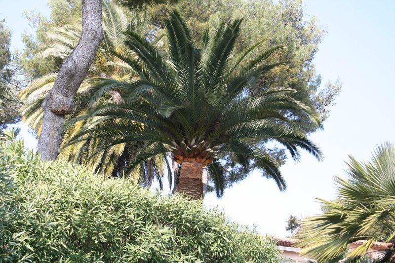 Palmier taillé vu de l`extèrieur côté route