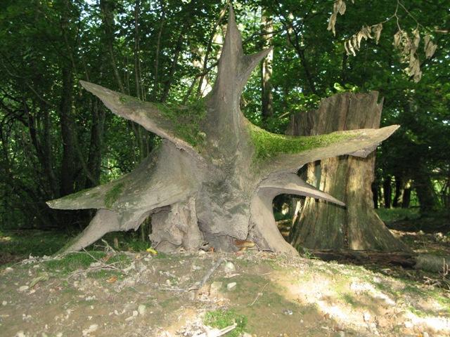 Auf dem Hügelgrab - Wurzelstock einer alten Eiche