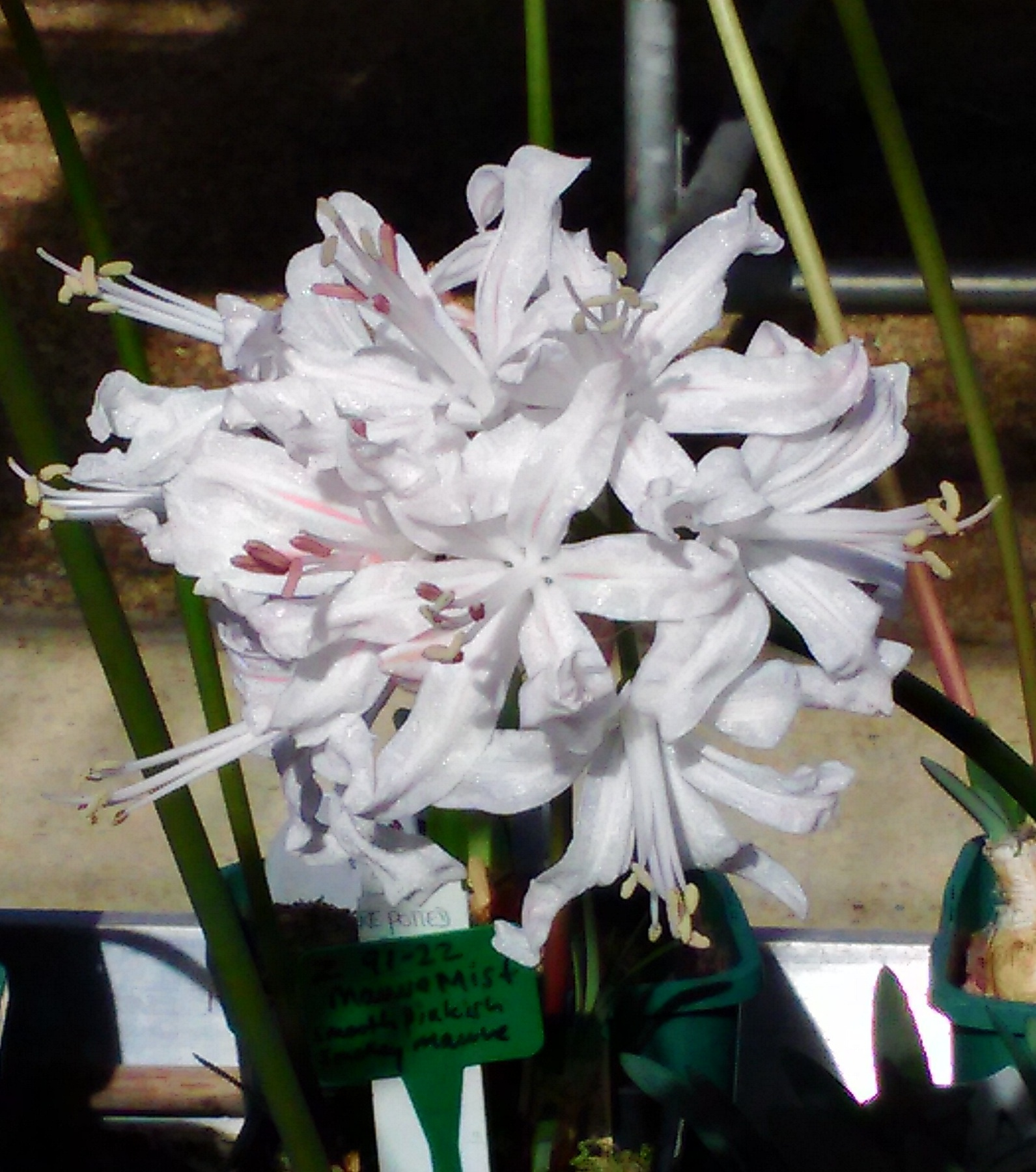 Nerine sarniensis 'Nancy Perth'