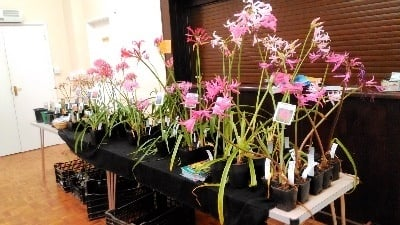 "2017 Hardy Nerines from Broadleigh Gardens brought by our speaker, Lady Skelmersdale, who gave a most interesting and beautifully illustrated talk entitled ""Summer Flowering Bulbs of the Drakensberg Mountains of South Africa""."