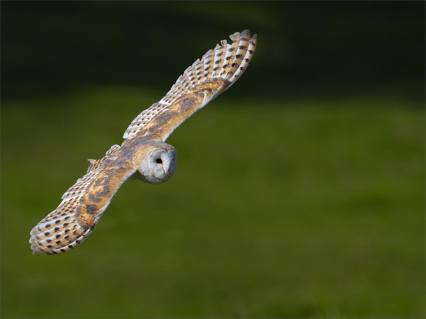 Highly Commended: Barn Owl (Michael Bull)