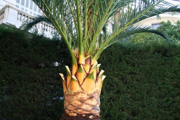 Palmier Phoenix aprés la taille/l`élagage