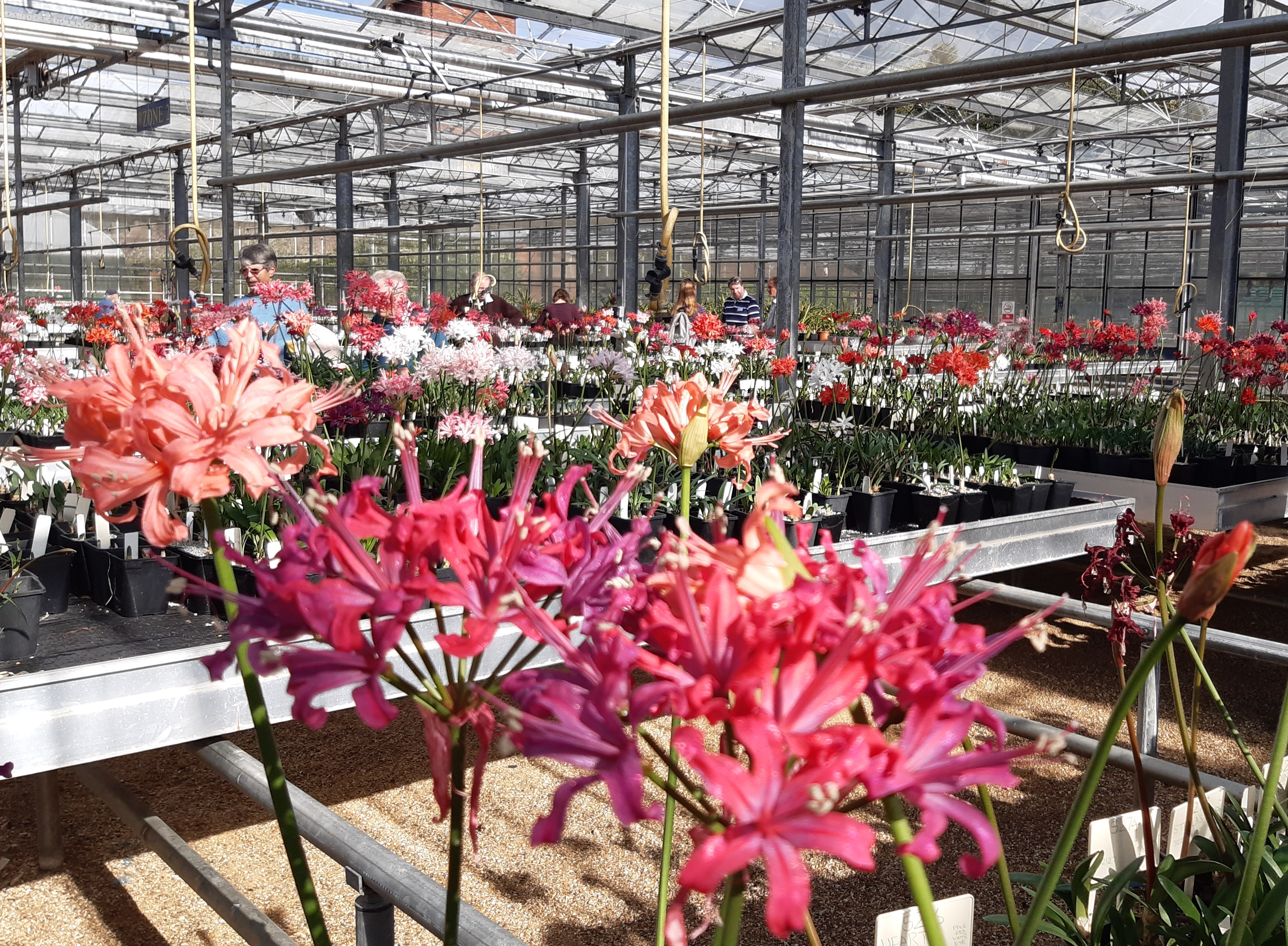 Members viewing the beautiful Nerine blooms in the glasshouse.