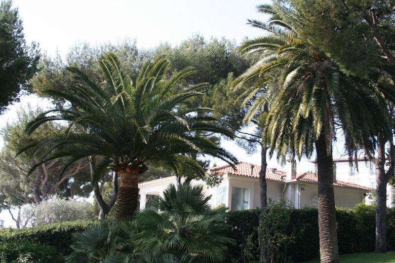 Palmier de gauche taillé, palmier de droite non taillé