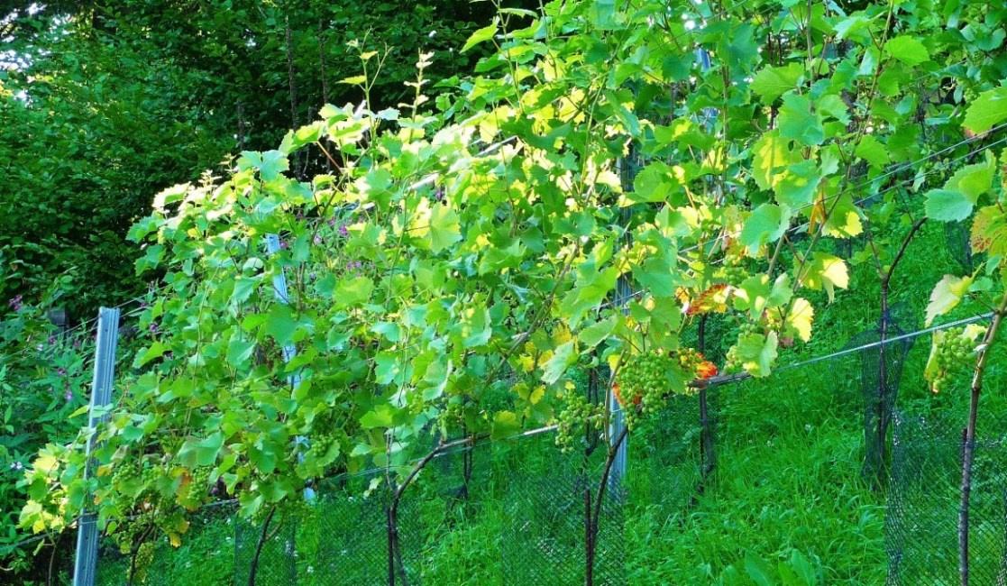 Trauben gedeihen gut - 16. August 2010