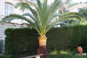 Palmier Phoenix après la taille