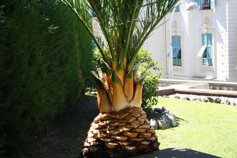 Détail de la base des palmes taillées