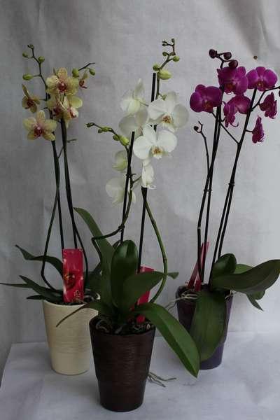 Orchidée 2 tiges + cache pot - 40 €