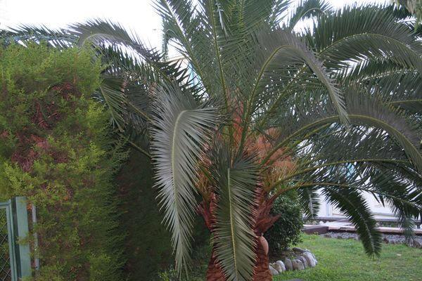 Taille palmier Phoenix : avant la taille