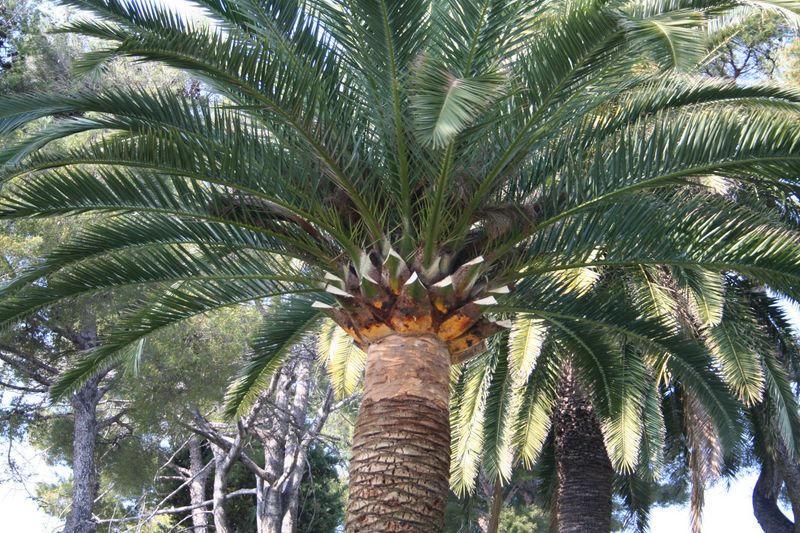 Palmier Phoenix taillé en marguerite