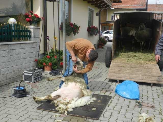 Vorführung Schafschur