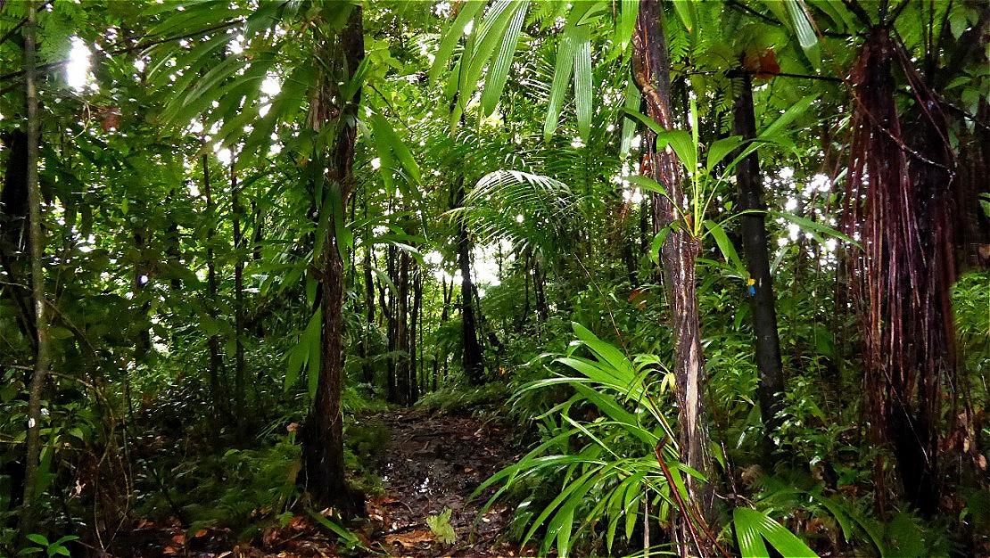 Pfad durch den Regenwald