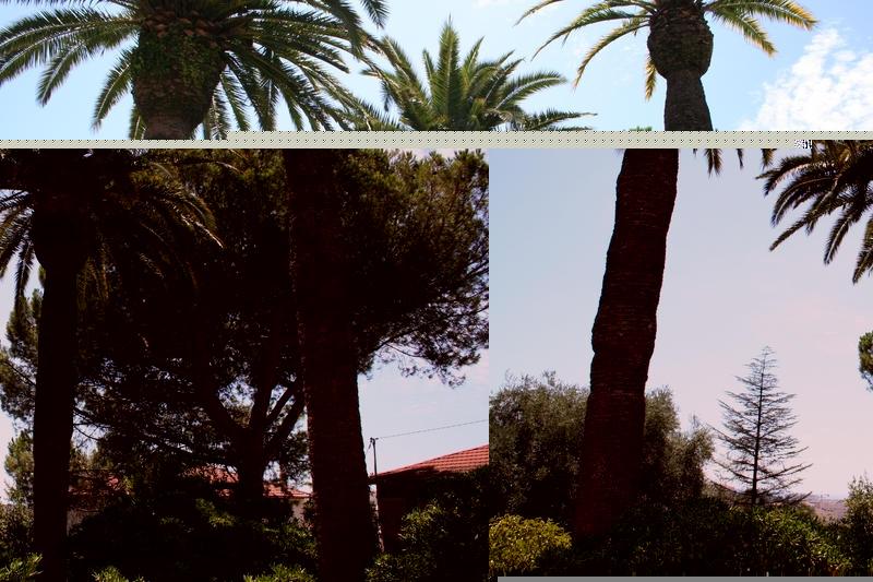 Les 3 palmiers aprés la taille