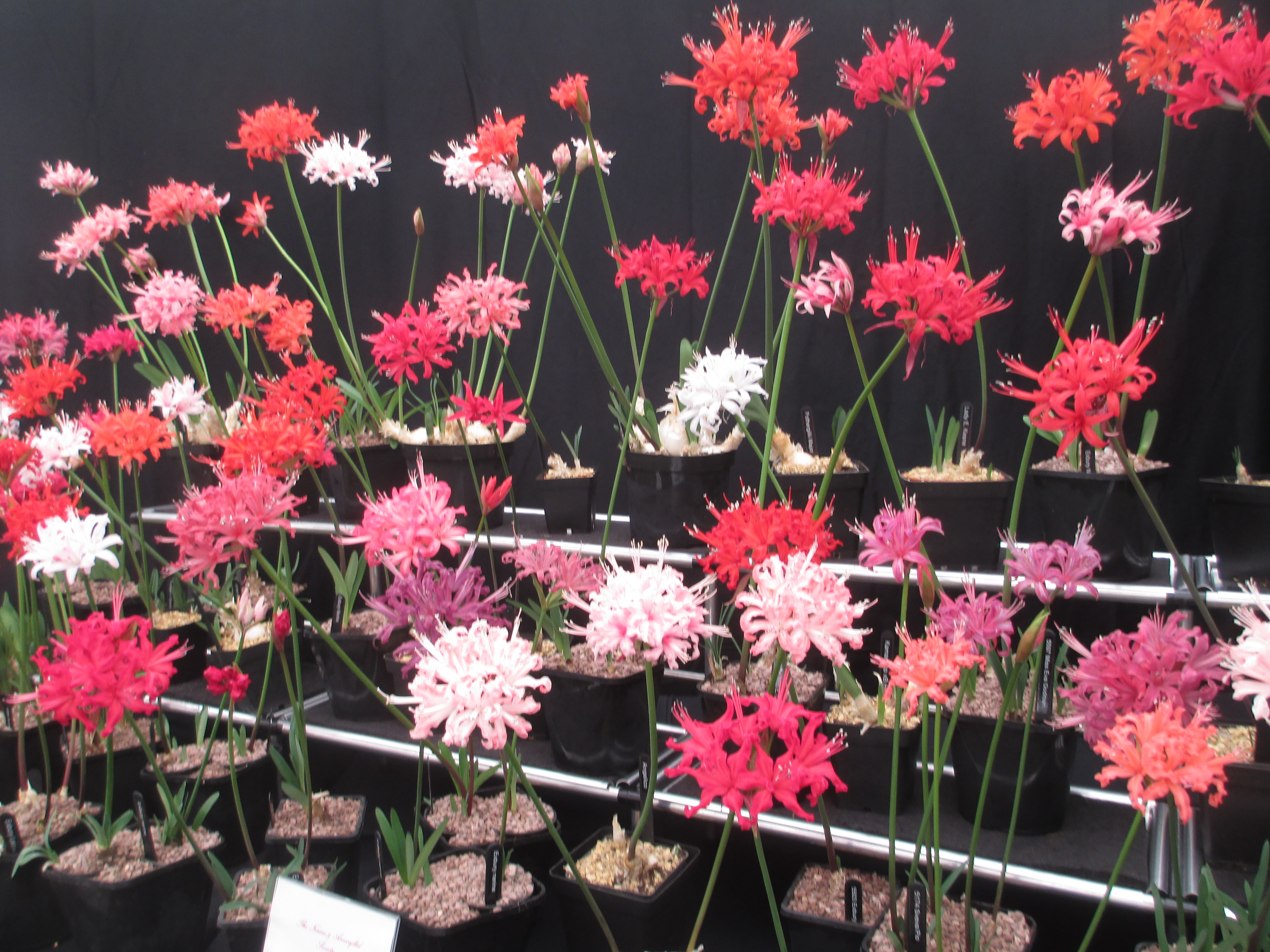 A stunning display of Nerine sarniensis.
