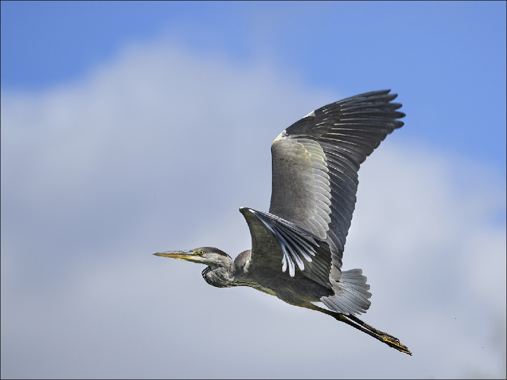 Highly Commended: Grey Heron (Michael Bull)